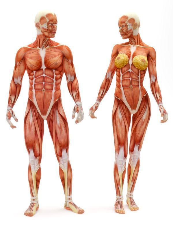 Sistema_muscular